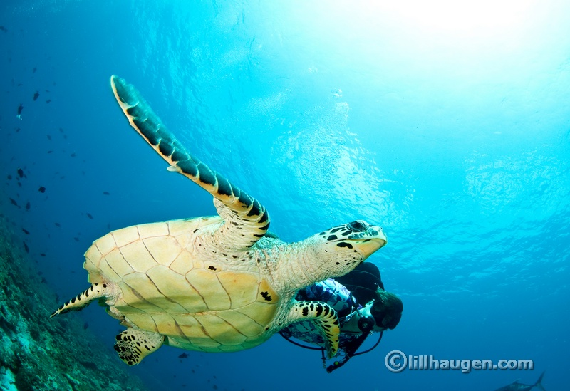 DSC_1736_edit_hawksbill turtle_carpe diem.jpg